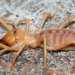 【グロ虫注意】ヒェ…新潟県柏崎市で世界三大奇虫の一つヒヨケムシが日本で初めて見つかったと話題!